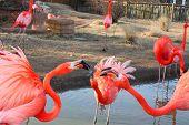 stock photo of flamingo  - Large flamingo birds fight with their beacks - JPG