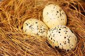 stock photo of quail egg  - quail eggs in a nest of hay  - JPG