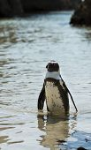 picture of jackass  - African Penguins  - JPG