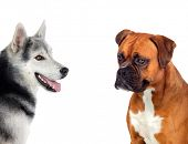 foto of spotted dog  - Two beautiful dogs isolated on a white background - JPG