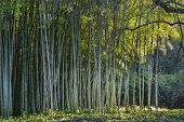 foto of bamboo forest  - Bamboo forest edge with lateral sun light - JPG