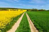 pic of rape  - Rape field - JPG