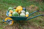 picture of wheelbarrow  - Wheelbarrow with freshly harvested crop of pumpkins melons and watermelons - JPG