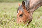 picture of pony  - closeup of a wild pony grazing in the New Forest national park in the UK - JPG
