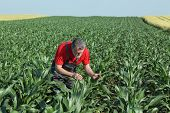 foto of inspection  - Agriculture farmer inspect quality of corn in field late spring or early summer - JPG