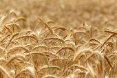 stock photo of harvest  - Wheat field  - JPG