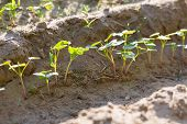 pic of buckwheat  - Beautiful close up of young buckwheat sprouts growing on field - JPG