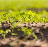 image of buckwheat  - Beautiful close up of young buckwheat sprouts growing on field - JPG