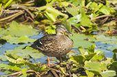 image of vegetation  - Female mallard resting on some vegetation in the Danube delta - JPG