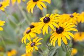 foto of black-eyed susans  - Bright yellow rudbeckia or Black Eyed Susan flowers in the garden - JPG