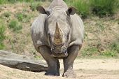 stock photo of rhino  - White rhino with large horn wildlfe - JPG