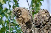 stock photo of peer  - Young Owlet Peering in the Distance with Claw Extended - JPG