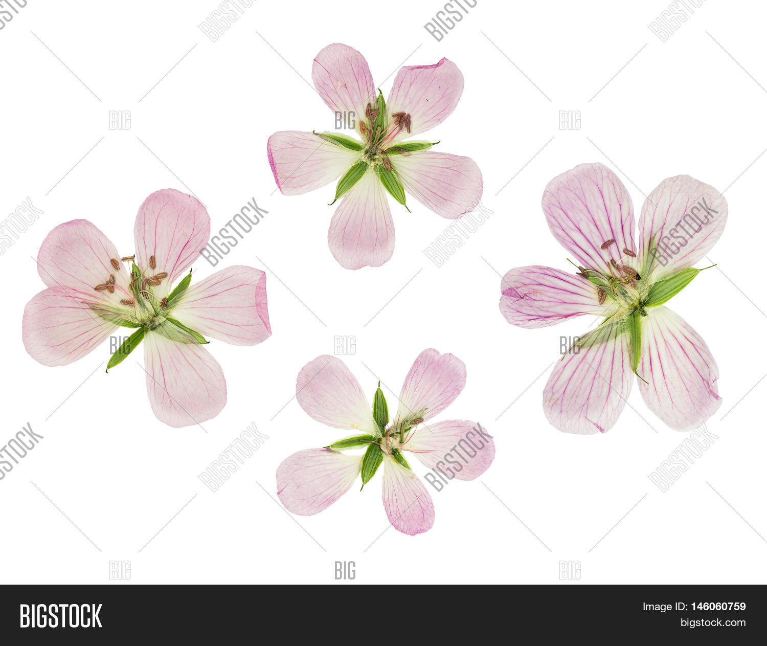 How to scrapbook dried flowers - Pressed And Dried Flowers Siberian Geranium Geranium Sibiricum Isolated On White Background