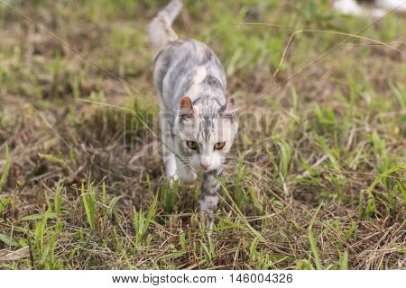 cat walk in the grassland