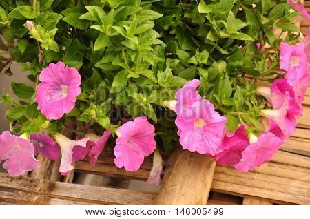 Soft focus Pink petunia flowers.Many flowers pink petunias and wooden background.