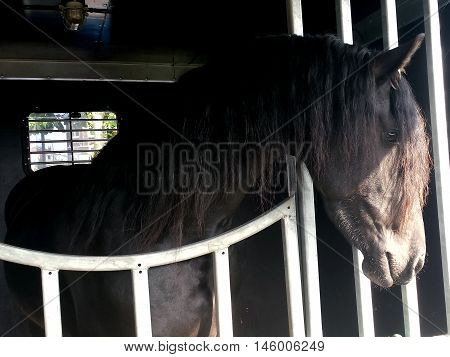 Headshot of Friesian horse in horse trailer with sun over his face