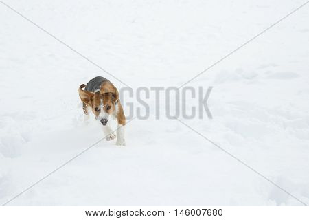 Dog running and jumping through snow in a winter landscape enjoying freedom in nature. Animal rights happiness active and healthy pet concept.