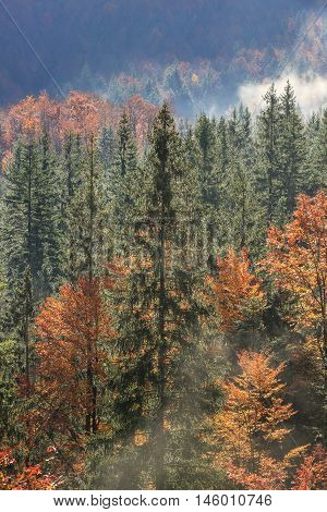 Coniferous and deciduous mountain forest in autumn colors with morning foggy mist rising sunrays penetrating through it. Seasons changing unique sunlight concept textured background.