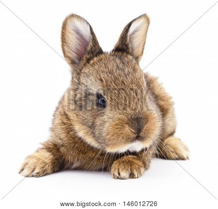 Isolated image of a brown bunny rabbit.