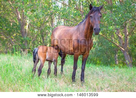 mare mother suckling its foal in the forest