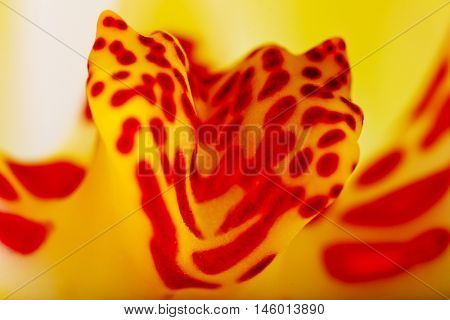 Close up of orchid flower with red-spotted yellow center