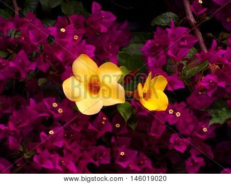 Yellow flowers surrounded by fuchsia Bougainvillea bush
