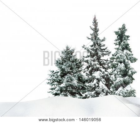 Fir-trees with snow on beautiful natural snowdrift  with white background