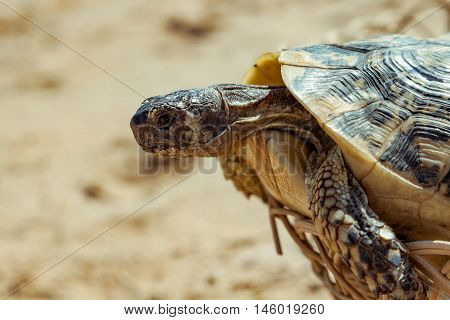 Turtle on the sandy beach.Egypt. Red Sea