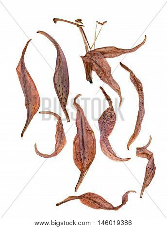 bizarre curved extruded dried lily flower petals
