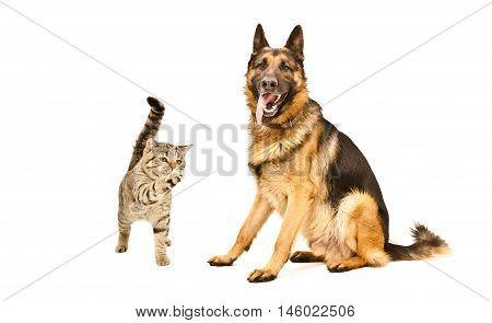 German Shepherd dog and playful cat Scottish Straight isolated on white background