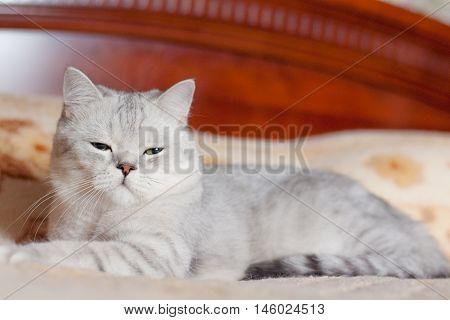 beautiful cat British shorthair breed indoors closeup