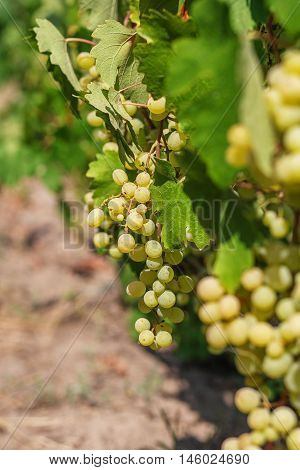 Large Bunch Of White Wine Grapes Hang From A Vine.