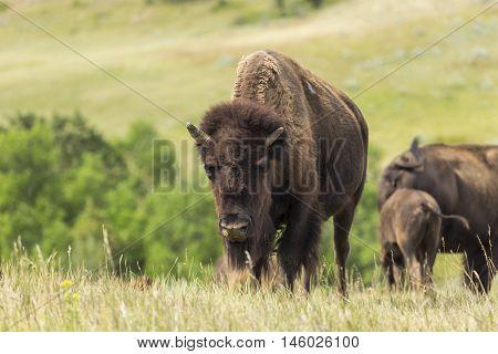 Wild buffalo in the grassy landscape of North Dakota.