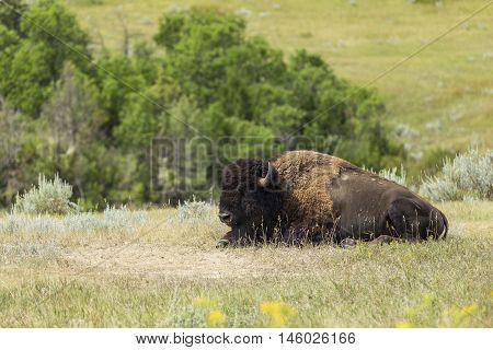 A wild buffalo in a grassy landscape.