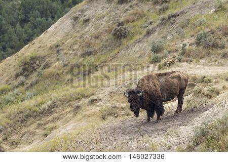 A wild buffalo in a badlands landscape.