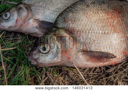 Close Up View Of Several Common Bream Fish On Green Grass. Catching Freshwater Fish On Natural Backg