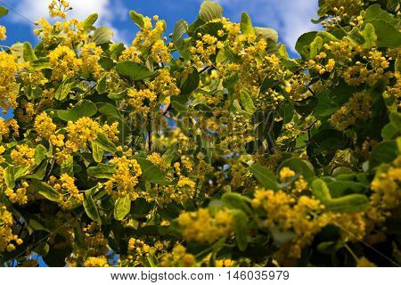 linden flowers close up on a background of blue sky