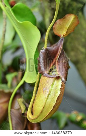 Nepenthes Villosa, Monkey Pitcher Plant