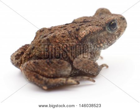 Small brown frog isolated on white background.