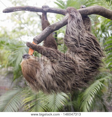 A Young Hoffmann's two-toed sloth eating carrot