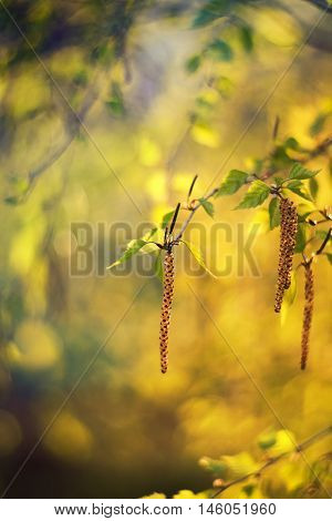 branch of birch tree with young green leaves and catkins