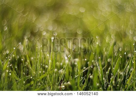 a lot of green juicy grass in drops of dew and the circles of light and glare