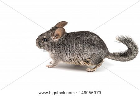 Chinchilla gray mouse on a white background