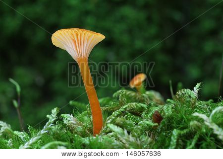small orange fungi in the moss forest