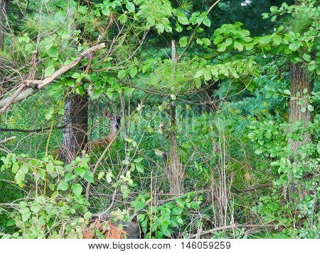 Whitetail deer doe in the trees hiding