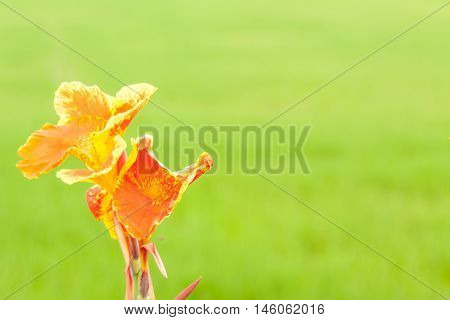 The old Canna lilly with blurry background