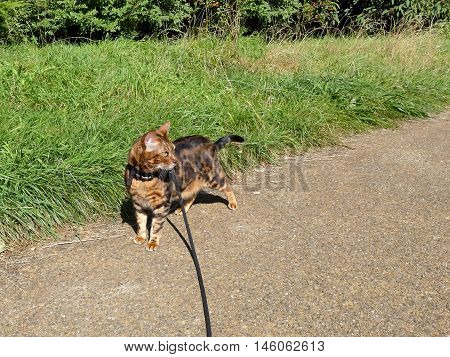 Bengal Cat On A Harness And Leash On A Stroll Outside