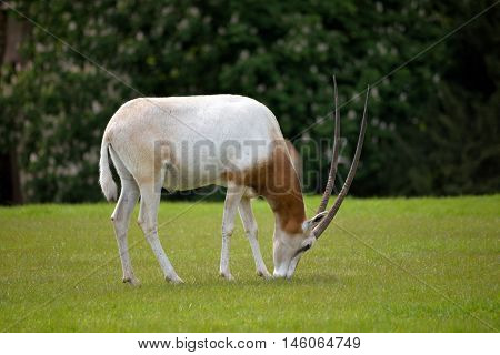 Scimitar-horned Oryx in fota wildlife park near cobh county cork ireland