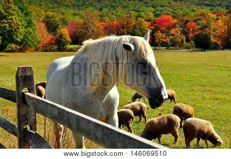 Hopewell Furnace Pennsylvania - October 15 2015: A white horse in a pasture grazing sheep and colorful Autumn foliage *