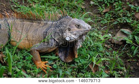 Iguana (Iguana iguana) on green grass in the botanical garden of Medellin - Antioquia - Colombia